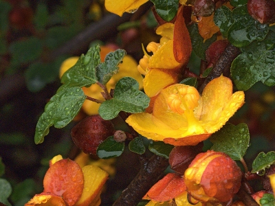 "This flannelbush cultivar (Fremontodendron californicum ""Margo"") blooms for many months."