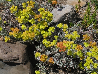 Sulfur buckwheat (Eriogonum umbellatum dumosum) begins to show fall color.