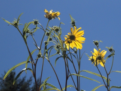 California sunflower (Helianthus californicus)