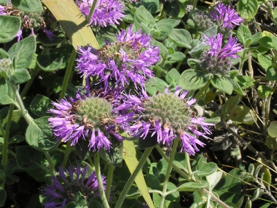 Coyote mint (Monardella villosa) has a mint-like fragrance and is popular with butterflies.