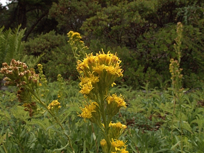 Dune goldenrod (Solidago spathulata) is native to the coastal strand and coastal scrub communities.