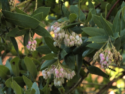 Manzanitas begin to bloom. Santa Cruz manzanita (Arctostaphylos andersonii)