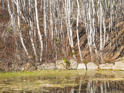 Quaking aspens (Populus tremuloides) are reflected in the pond on winter days.