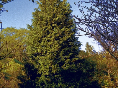 Winter is a great time to enjoy the Garden's many conifers, such as this Port Orford cedar (Chamaecyparis lawsoniana).