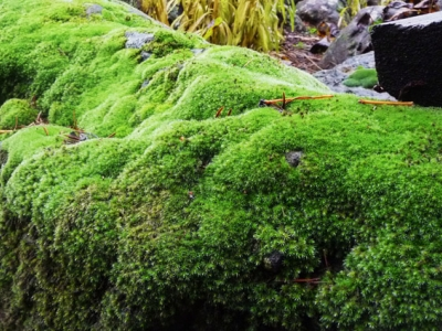 Mosses turn bright green with winter rains.