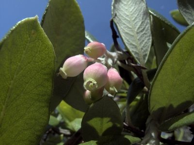 Mission manzanita (Xylococcus bicolor) is not in the Arctostaphylos genus, but is similar enough to be called a manzanita. Native to southern California and northern Baja.