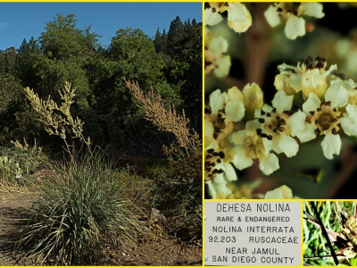 Nolina interrata is a state-endangered species known only from southern San Diego County, California and northern Baja California, Mexico.