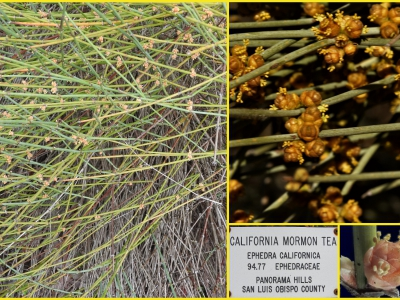 Ephedra californica is a gymnosperm (cone bearing plant) native to southern California. It was used medicinally by native Americans.