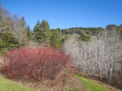 Contrasting colors of red creek dogwood (Cornus sericea) and gray quaking aspen (Populus tremuloides) are a winter attraction in the Sierra section.