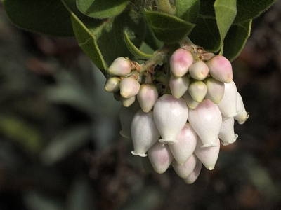 Many species of manzanitas bloom throughout the Garden. This species (Arctostaphylos crustacea ssp. insulicola) is native to the Channel Islands.