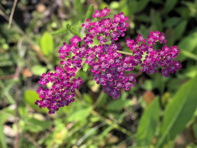 This pink variety of yarrow (Achillea millefolium) is from the Channel Islands.