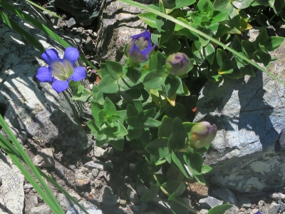 Explorers gentian (Gentiana calycosa) blooms in the serpentine slope in the Shasta-Klamath section
