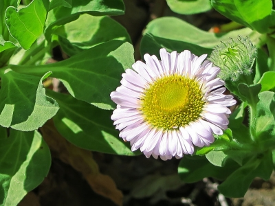 Seaside daisy (Erigeron glaucus) blooms in the Sea Bluff section