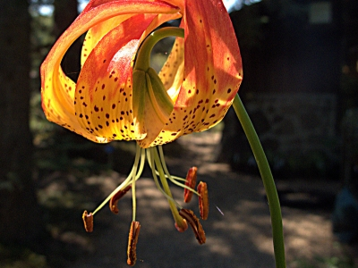 "Leopard lily (Lilium pardalinum). This variety, called ""giganteum"" can grow up to 6 ft tall."