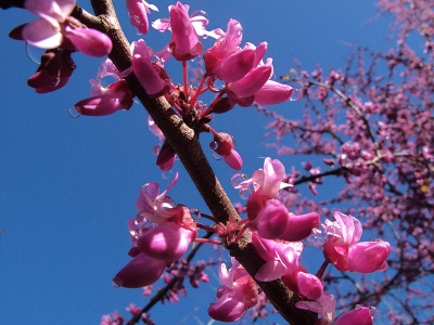 Western redbud (Cercis occidentalis) blooms in several locations in the Garden