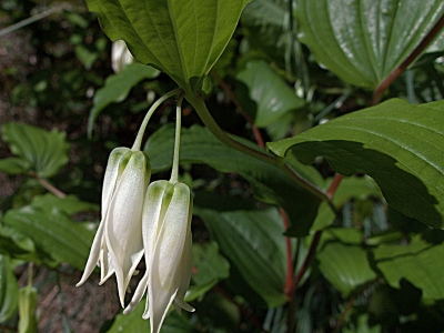 Largeflower fairybells (Prosartes smithii). Flowers are somewhat hidden under the leaves.