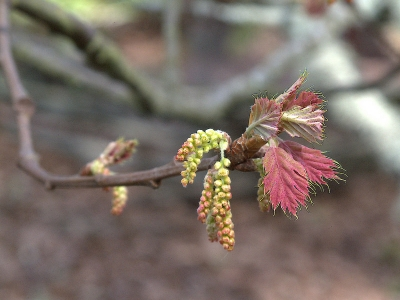 New leaves on the deciduous black oak (Quercus kelloggii) have a beautiful pink appearance.