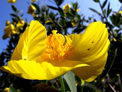 Channel Islands bush poppy (Dendromecon hardfordii) blooms for many months.