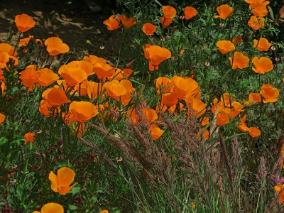 California poppy (Eschscholzia californica), our state flower, blooms in several areas of the Garden.