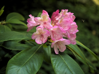 California rose bay (Rhododendron macrophyllum) in the Redwood section