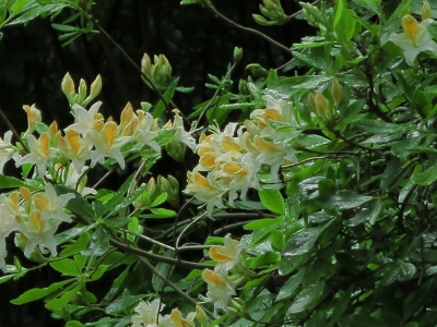 Western azalea (Rhododendron occidentale) blooms in the redwood section.