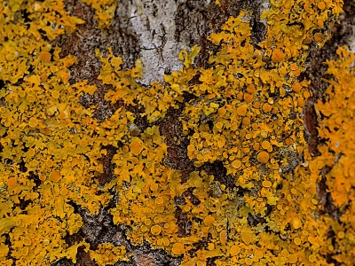 Orange lichen (Xanthoria parietina) stands out against gray aspen trunks in the Sierra meadow.