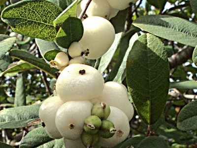 Snowberry (Symphoricarpos albus laevigatus) is easily recognized by its bright white berries.