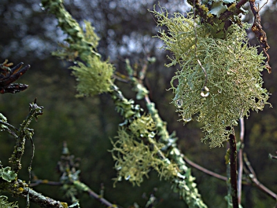 Bushy beard lichens (Usnea intermedia) are seen on many trees and shrubs throughout the Garden.