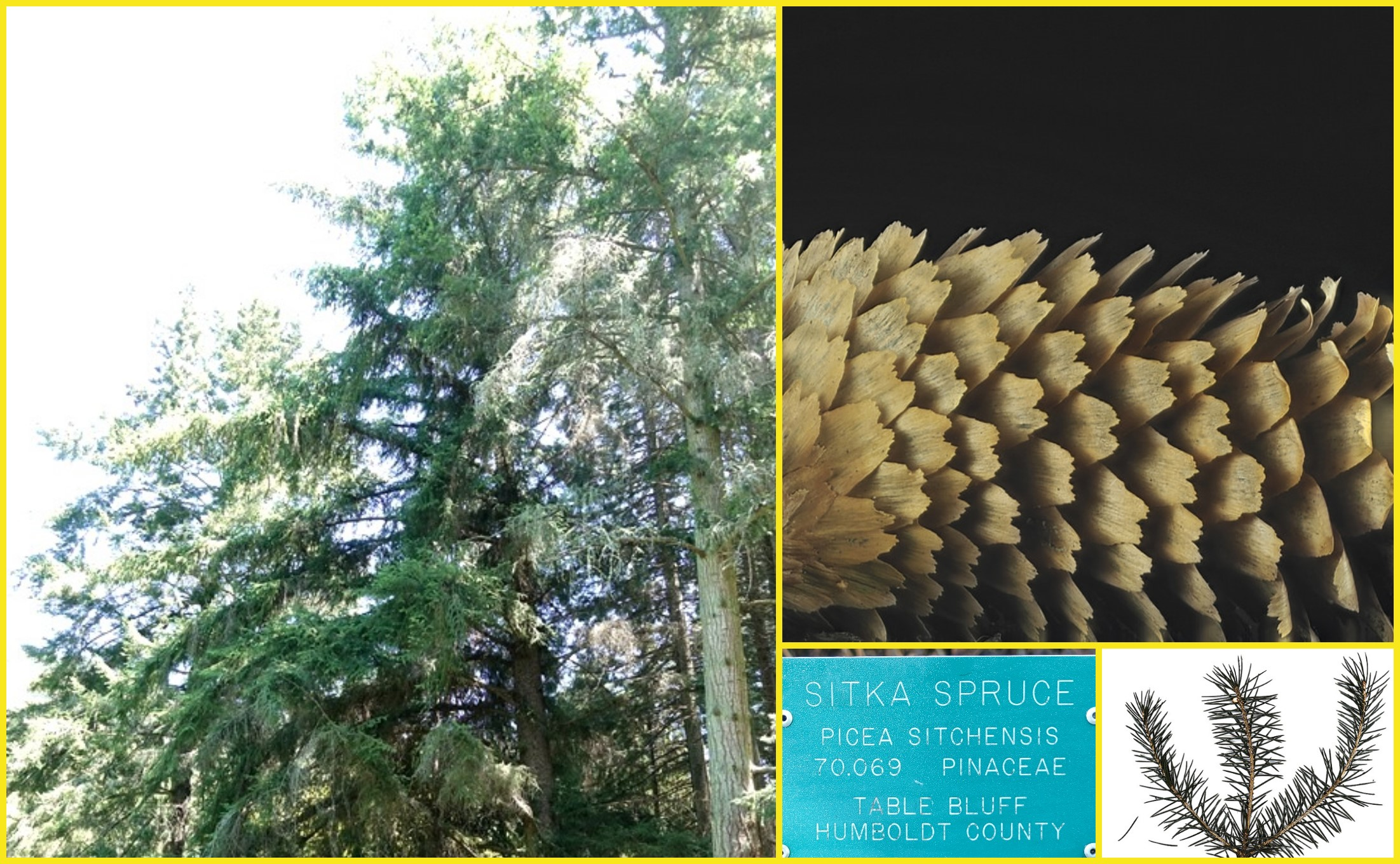Picea sitchensis (Sitka Spruce)