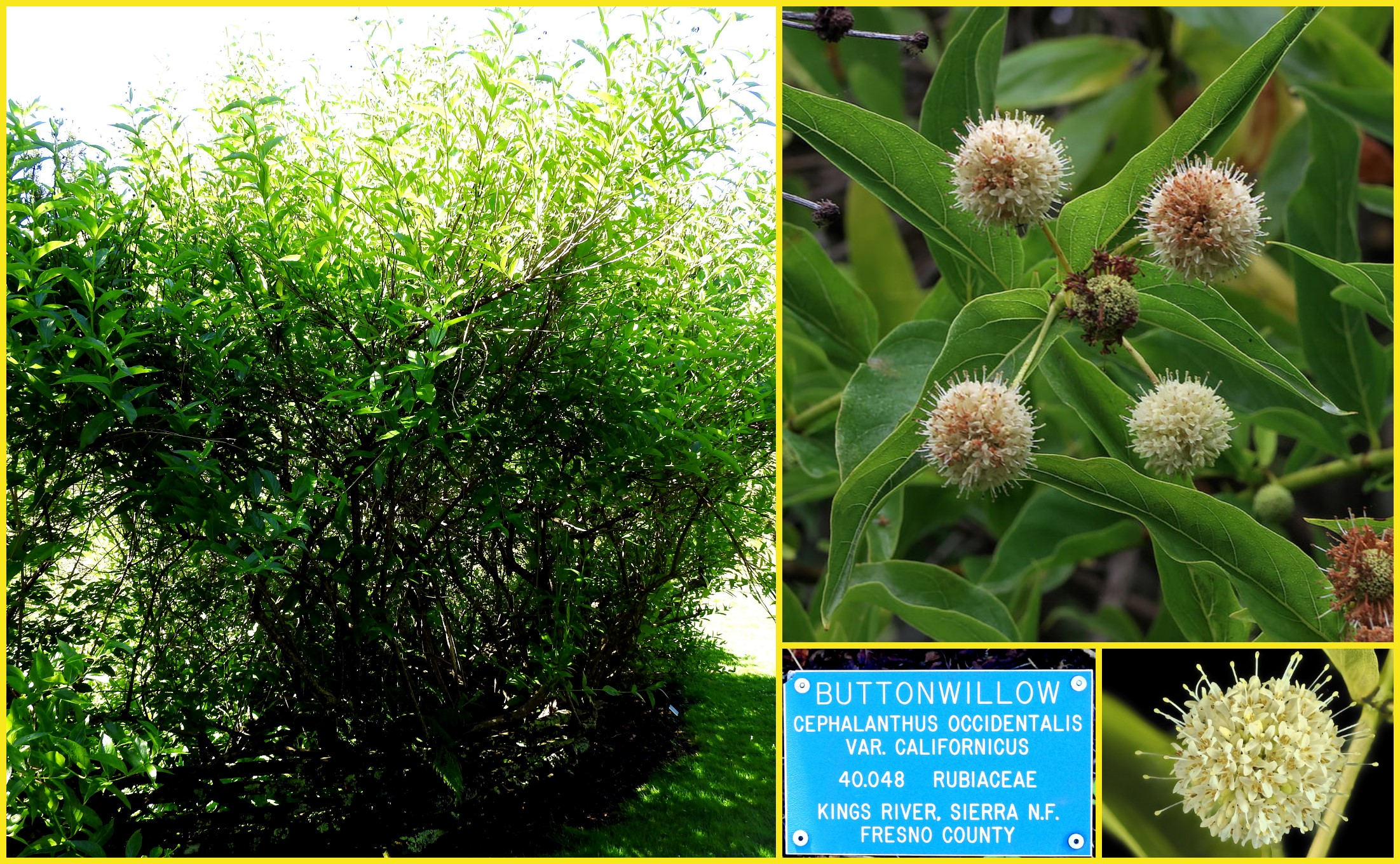 Cephalanthus occidentalis (Buttonwillow)