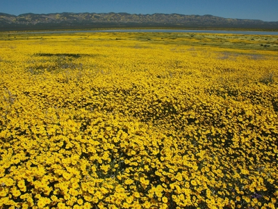 Looking east-southeast across Carrizo Plain and Soda Lake to the Temblor Range, April 2017. Flowers include leafy-stemmed tickseed (Leptosyne callipsidea, foreground yellow flowers) and Lemmon's mustard (Caulanthus anceps, tall white flowers). Allison Kidder