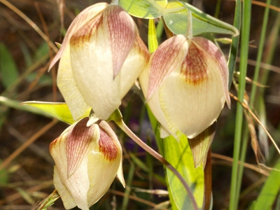 Calochortus albus, Table Mountain