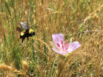 """Alkali mariposa-lily (Calochortus striatus), Lake Isabella, May 2017.  """"We found this rare and endangered plant (CNPS 1B.2 listed) in the Lake Isabella area in a moist alkali meadow. Pollinators were busy visiting the flowers, and this carpenter bee was captured in mid-flight heading towards the lily."""" Dee Shea Himes"""