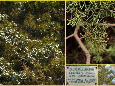 Juniperus californica