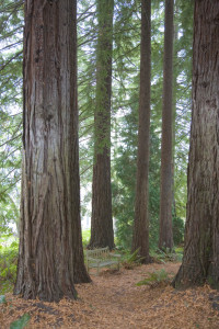 Redwoods (Sequoia sempervirens) Photo by Eleanor Briccetti