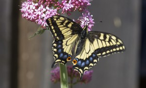 Anise Swallowtail Butterfly: one of the 43 species spotted in and around Berkeley during the annual Butterfly Count. Photo Elaine Miller Bond