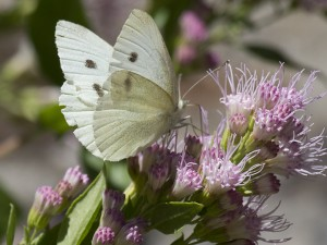 The cabbage white butterfly is an introduced species from Europe. Females, like this one, have two small spots on their forewings. Males have just one. Photo Elaine Miller Bond