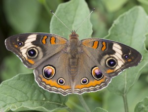 Buckeye butterfly Photo: Elaine Miller Bond