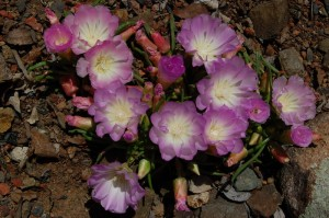 Bitterroot (Lewisia rediviva) Photo by Stephen W Edwards