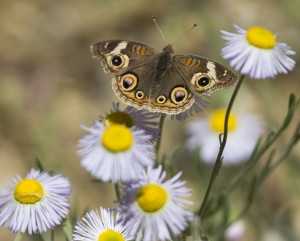 May beautiful butterflies be our reminder to conserve nature Photo Elaine Miller Bond