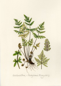 Miniature of Goldback Fern © Linda Ann Vorobik