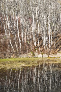 Quaking aspens (Populus tremuloides) reflected in the pond on a winter day