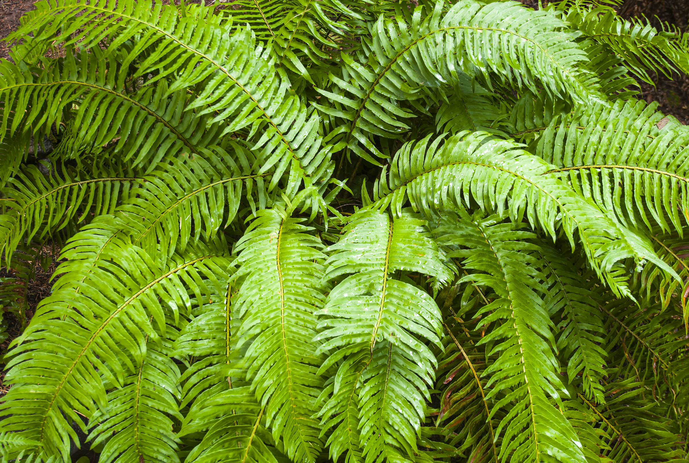 The Redwood Section covers the coastal redwood forests south of Humboldt County. In the understory of the redwood grove one can see lush ferns, ground covering sorrel and other beautiful plants.