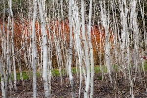 Aspen (Populus tremuloides) in front of creek dogwood (Cornus sericea) Photo: ©Saxon Holt/Photo Botanic