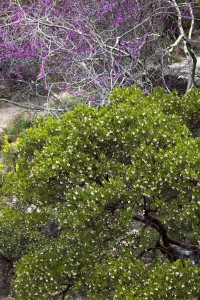 Franciscan manzanita (Arctostaphylos hookeri) with Redbud (Cercis occidentalis) Photo: ©Saxon Holt/Photo Botanic